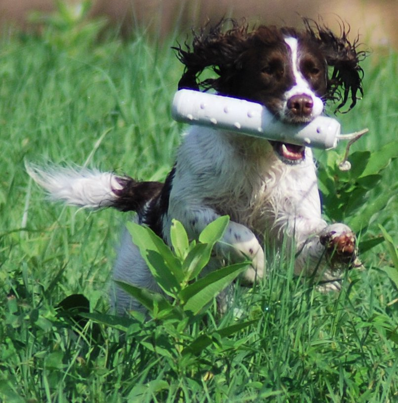 Olive Ridge - Pennsylvania English Springer Spaniel Breeders